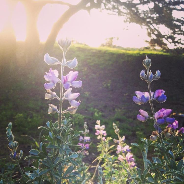 Silver Lupin ~ Lupin albifrons